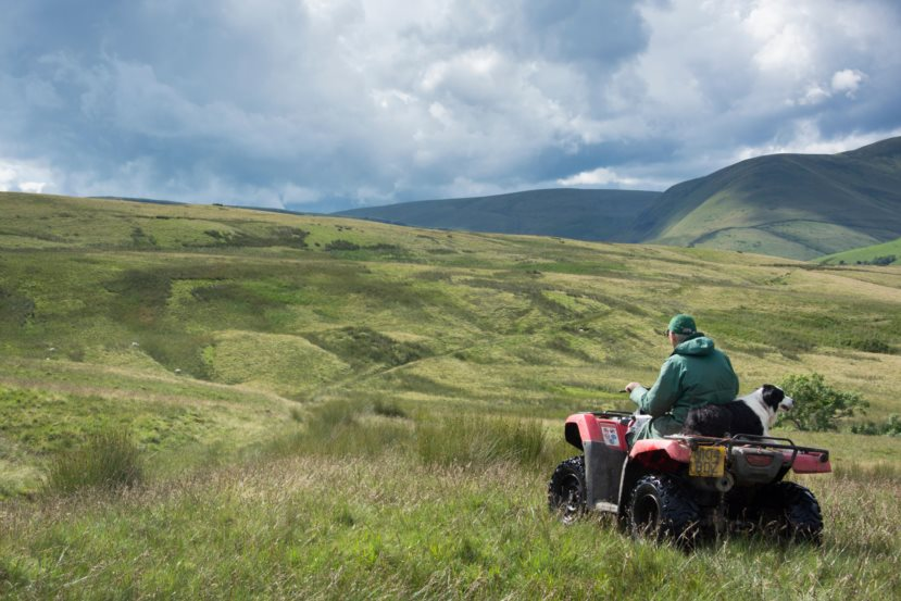 Shepherd on a quad bike with sheepdog sitting behind him, driving on moorland, UK